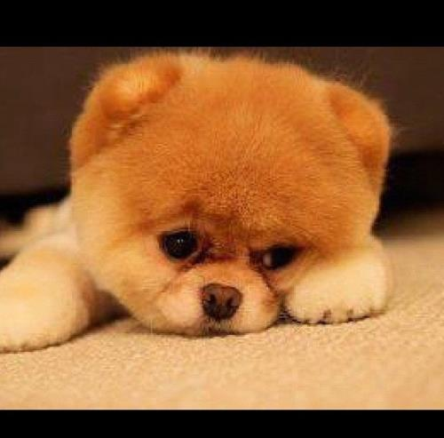 Most Liked Puppies on Facebook | Boo